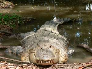 Crocodile in Australien
