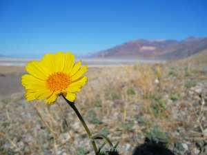 Blume im Death Valley National Park